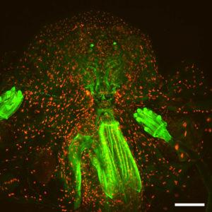 Fly monster © Orestis Falklaris & Michael Lang – Institute Jacques Monod, CNRS UMR7592 - ImagoSeine