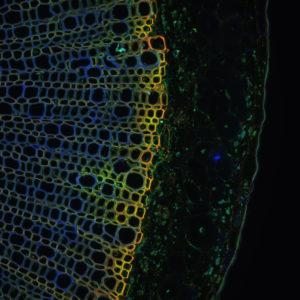 Quand la chimie transcende la lignine ! 2 © Clémence Simon, Unité de Glycobiologie Structurale et Fonctionnelle, UMR8576