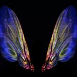 Fly's wings © Morgane Rabineau, Inserm