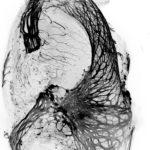 The Black Swan © Orestis Faklaris, Nicolas Chevalier - Institut Jacques Monod